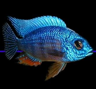Bigones click on the image for more information on african cichlids
