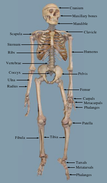 Unique Labeled Skeleton Model Sketch - Anatomy And Physiology ...
