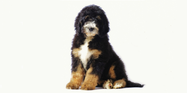 Bernese Mountain Dog Poodle Mix For Sale