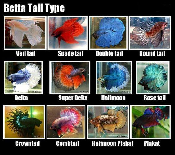 Different Betta Fish | Betta Fish Care