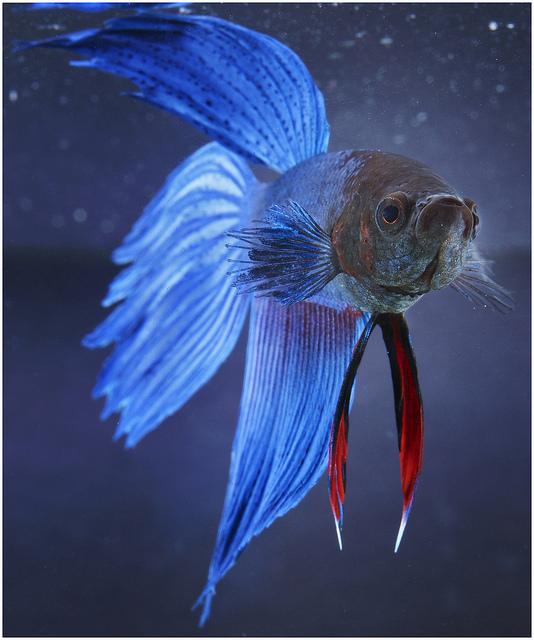 male betta fish